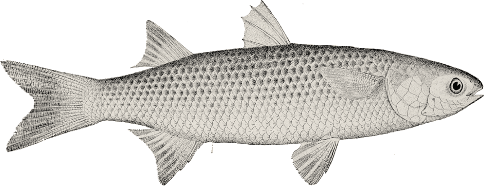 Hindiba Nature House  - Illustration Of The Fish